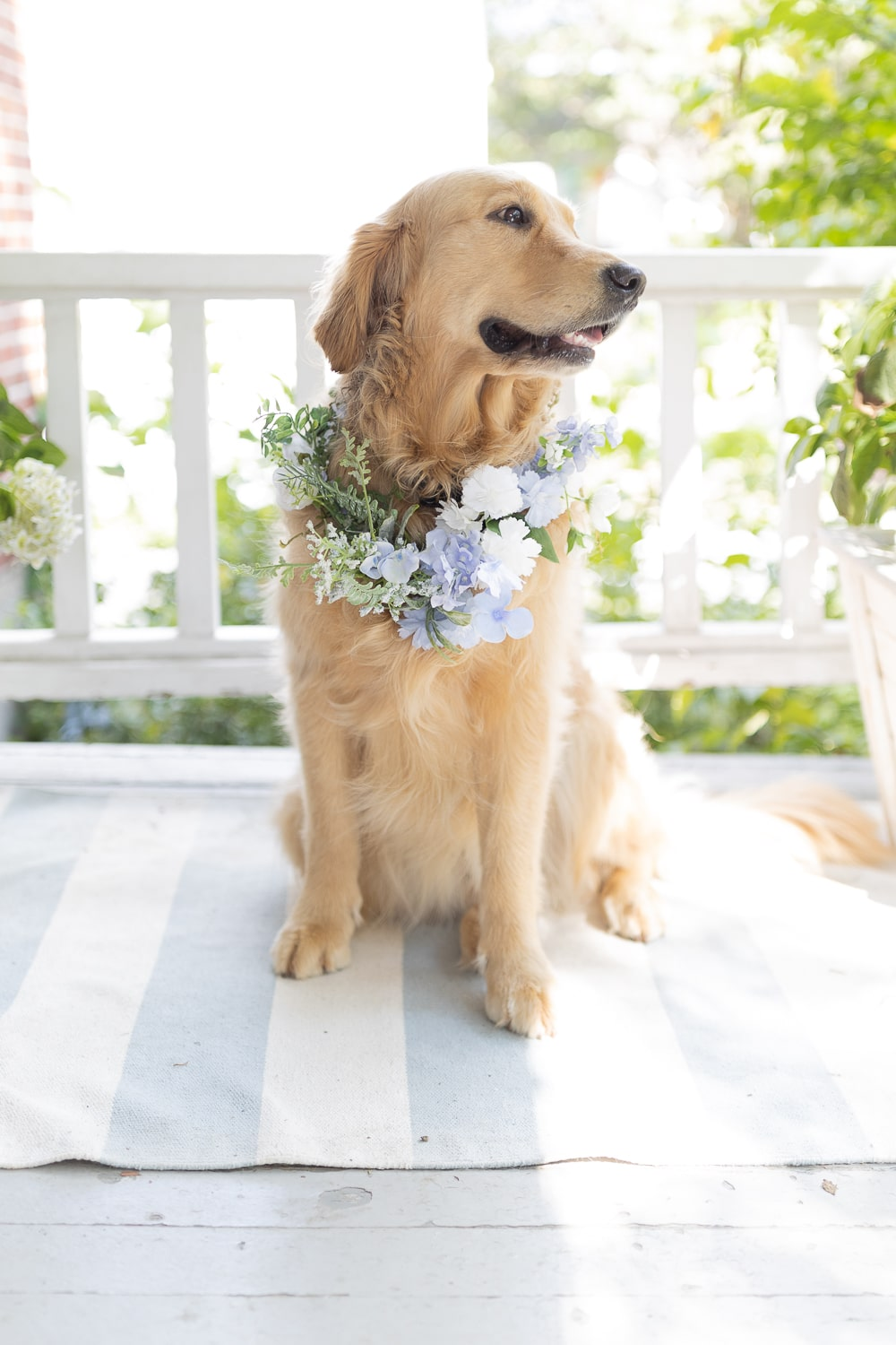 Golden retriever wearing a blue and white dog flower collar for blogger Stephanie Ziajka's wedding on Diary of a Debutante
